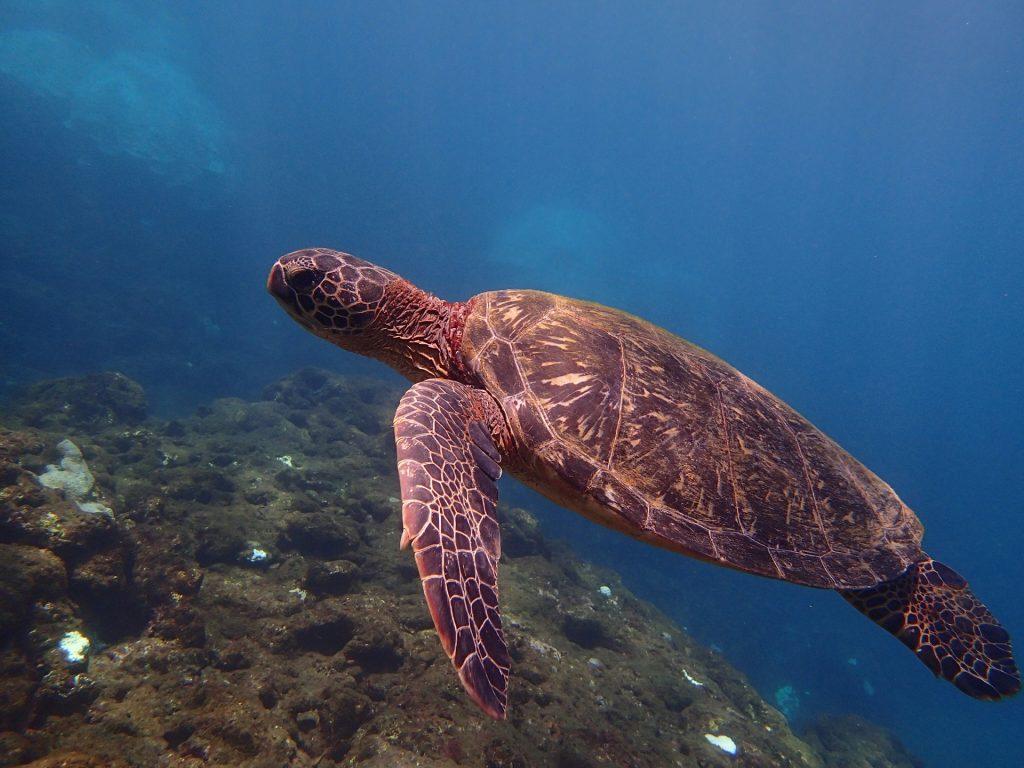 絶滅危惧種ウミガメの写真